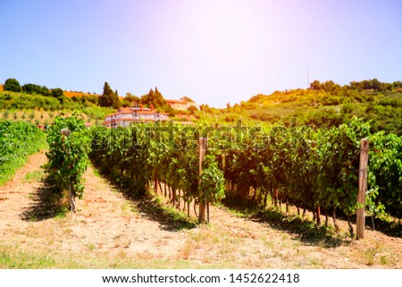 Aerial view of vineyard at the seaside and sunset in the middle of the grape shrubs #1452622418