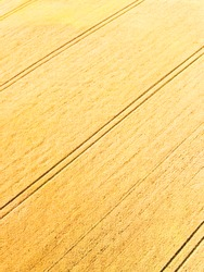 Aerial view of wheat field with tractor tracks. Beautiful agricultural texture or background of summer agriculture landscape. Farm from drone view.