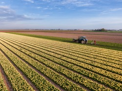 Aerial view of yellow tulip field with farmer working on the land with agricultural tractor machine