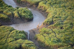 Aerial view photo of isolated giraffe on bank of flooded Mara River in Maasai Mara National Reserve, Kenya, Africa