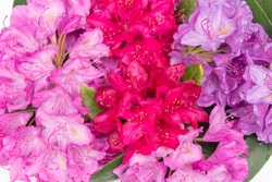 Aerial view pink red lilac Rhododendron blossoms white lace background  Closeup beautiful evergreen rhododendron bouquet national flower of Nepal, ideal for gardening, nature, wedding decoration blog
