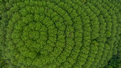 Aerial view rubber tree forest plantation, Top view of rubber latex tree and leaf plantation, Business rubber latex agriculture, Ecosystem and healthy environment concepts and background.