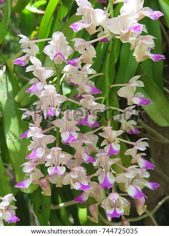 Aerides falcata  ,Found in  Thailand,  occuring in semi-deciduous and deciduous dry  forests, this flower is pink  white  and blooms long, very fragrant, waxy flowers occuring in the summer.     #744725035