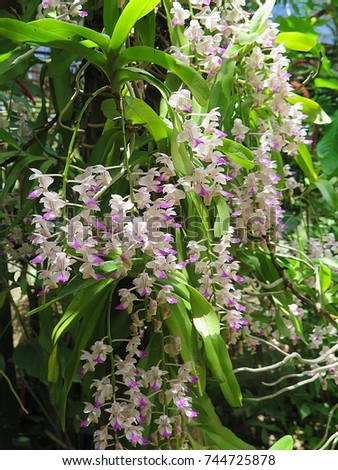 Aerides falcata  ,Found in  Thailand,  occuring in semi-deciduous and deciduous dry  forests, this flower is pink  white  and blooms long, very fragrant, waxy flowers occuring in the summer.     #744725878