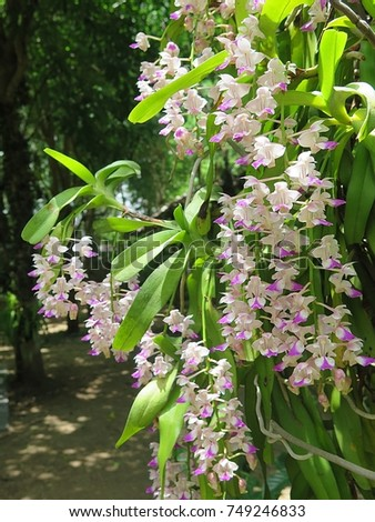 Aerides falcata  ,Found in  Thailand,  occuring in semi-deciduous and deciduous dry  forests, this flower is pink  white  and blooms long, very fragrant, waxy flowers occuring in the summer.   #749246833