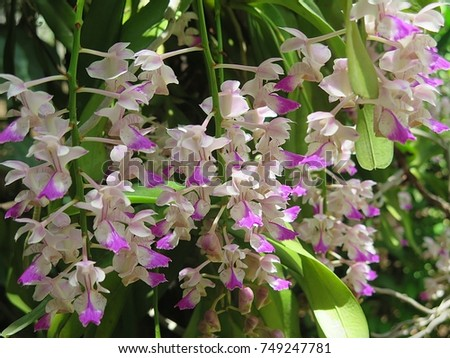 Aerides falcata  ,Found in  Thailand,  occuring in semi-deciduous and deciduous dry  forests, this flower is pink  white  and blooms long, very fragrant, waxy flowers occuring in the summer.     #749247781