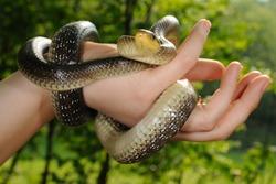 Aesculapian snake in a girl hand (Zamenis longissimus, the medicine symbol)
