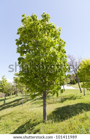 Aesculus hippocastanum, common horse chestnut, or simply Buckeye