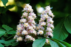 Aesculus hippocastanum flowering of a horse chestnut in a park in cologne in spring