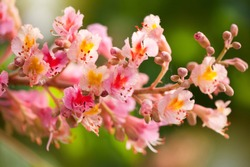Aesculus red chestnut tree blossoms, flowering buckeye or horse chestnut tree red flowers nature detail, flowerets clusters deciduous plant grow in Poland, Europe, horizontal orientation, nobody.