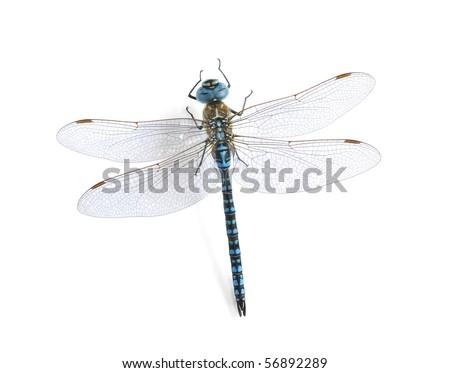 Aeshna affinis (male)