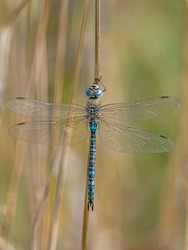 Aeshna affinis, the southern migrant hawker or blue-eyed hawker, is a dragonfly in the family Aeshnidae. Southern migrant hawker dragonfly - Aeshna affinis - male.