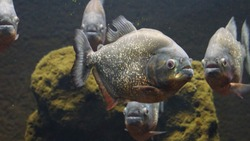 aestetics red-belllied piranha
