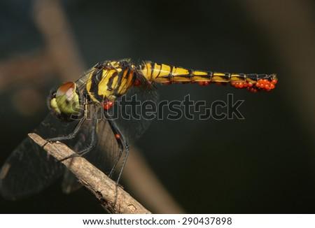 Bộ sưu tập Côn trùng Stock-photo-aethriamanta-aethra-dragonfly-with-orange-parasite-290437898