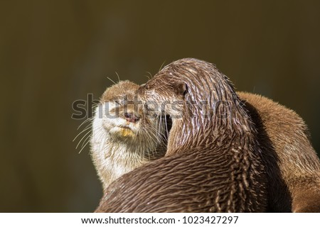 Affectionate otters. Cute wild animals bonding. Animal love and affection. Countryside river mammals grooming each other. #1023427297