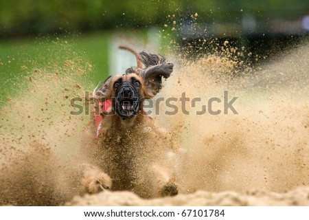 Afghan hound at the dog race