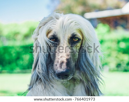 Afghan Hound Dog Breed Portrait #766401973
