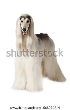 Afghan hound dog (eight years old) standing on white background #568074214