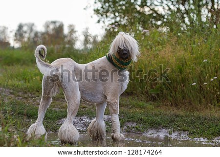 Afghan Hound dog in crochet scarf standing in a puddle - stock photo