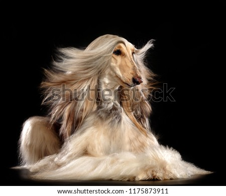 Afghan hound Dog  Isolated  on Black Background in studio  #1175873911