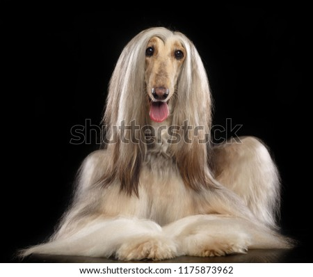 Afghan hound Dog  Isolated  on Black Background in studio  #1175873962