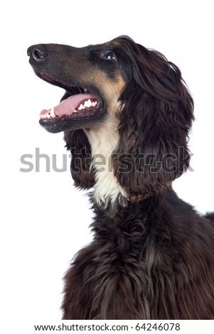 Afghan-Hound dog isolated on white background