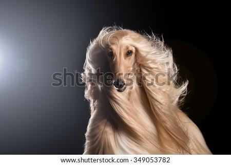 Afghan Hound in studio