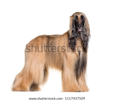 Afghan hound standing against white background #1117437509