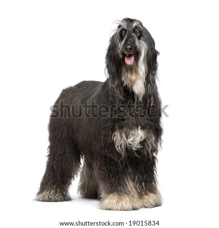 Afghan Hound (7 years) in front of a white background