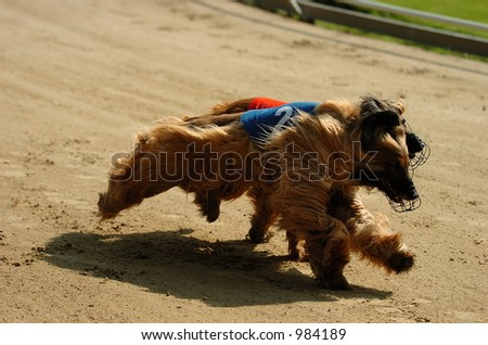 Afghan hounds racing in Rotterdam