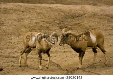 stock photo   afghan urial pre