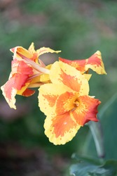 Aflame Canna Lilly Flower in full bloom in Costa Rica, Central America