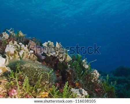 Afloat mediterranean moray (Muraena helena) - stock photo
