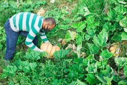 Aframerican gardener in protective mask picking crop of pumpkins on vegetable garden in autumn. Concept of viral infection prevention or dust protection