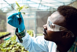 Africa American biotechnologist holding young butterhead for research with other species vegetables in organic farm. Good quality products. Remember growing plant. Earths day concept