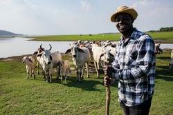 Africa American man feed and care the subsistence of cows in local farm near river and using a wood for control livestock. A farmer is a profession that requires patience and diligence