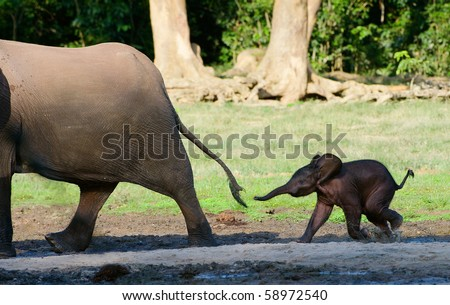 Africa. Forest Elephant.The small elephant calf runs for mum, trying to seize its tail