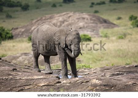 Africa. Kenia. Masai Mara National Park. elephant - stock photo