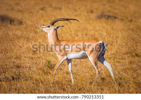Africa. Kenya. Antelope in the sun. Wild animals in Africa. Preserve in Kenya. Animals of Africa. African antelope. #790213351