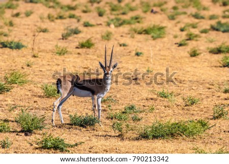 Africa. Kenya. Antelope looks into the camera. African antelope with horns. Preserve in Kenya. Animals of Africa. #790213342
