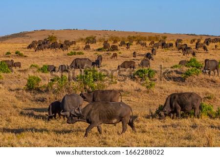 Africa. Kenya. Buffaloes. A herd of Buffalo in the Savannah. Fauna Of Kenya. African bulls. Wild animals of Africa. Travelling to Kenya. Vacation in Kenya.