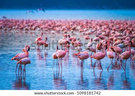 Africa. Kenya. Lake Nakuru. Flamingo. Flock of flamingos. The nature of Kenya. Birds of Africa. #1098181742
