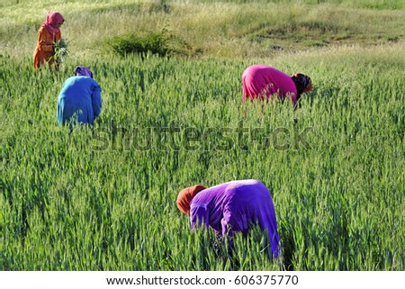 Africa- Morocco - Moroccan Arab women to agricultural work in rural areas - Dades Valley , work and sexual emancipation