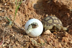 Africa spurred tortoise being born, Tortoise Hatching from Egg, Cute portrait of baby tortoise hatching, Birth of new life,Natural Habitat