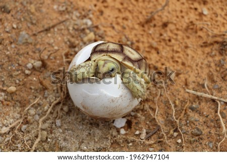 Africa spurred tortoise being born, Tortoise Hatching from Egg, Cute portrait of baby tortoise hatching, Birth of new life,Natural Habitat Stock photo ©