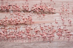 Africa, Tanzania, Aerial view of vast flock of Lesser Flamingos (Phoenicoparrus minor) nesting in shallow salt waters of Lake Natron