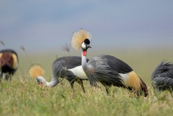 Africa, Tanzania, Ngorongoro Conservation Area, Small flock of Grey Crowned Cranes (Balearica regulorum) walking through short grass searching for insects in Ngorongoro Crater