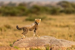 Africa, Tanzania, Serengeti National Park. Baby cheetah on boulder.