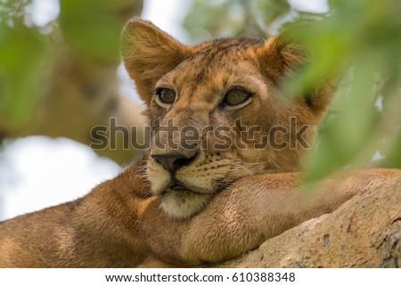 Africa, Uganda, Ishasha, Queen Elizabeth National Park. Lioness, (Panthera leo) in tree, resting on branch. 2016-08-04