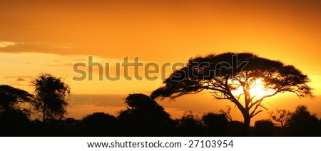 African acacia at sunset